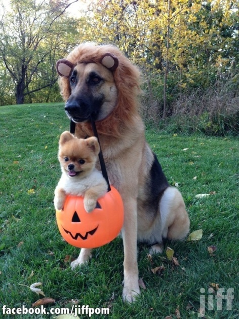 halloween-lion-costume-dog-carrying-dog-in-pumpkin