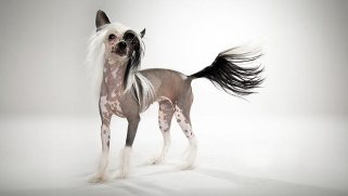 http://www.itsdogbreeds.info/images/chinese-crested-dog.jpg