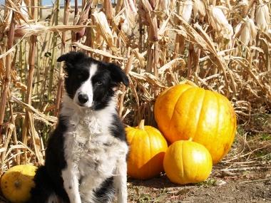 pumpkin patch dog
