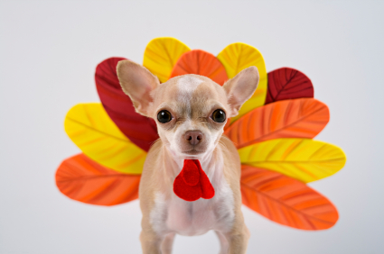thanksgiving-turkey-dog