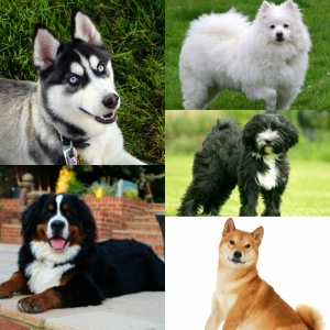 Cold Weather Dog Breed