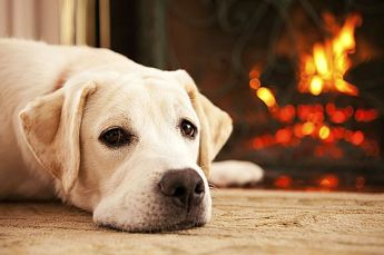 Labrador-in-front-of-the-fire