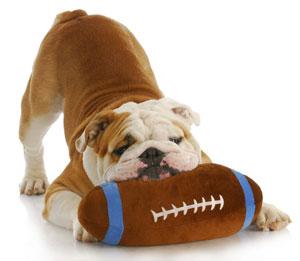 football-bulldog