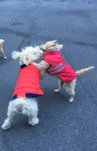 "Wonder Wheatens Quinn and River love to ""dance""!"