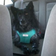 maya-pierson-wearing-dog-car-harness-001