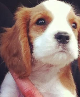 puppy cooper