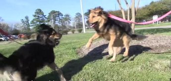 2-german-shephard-mutts-on-leashes-peta-video