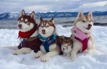 huskies-save-cat-facebook-lilo-the-husky