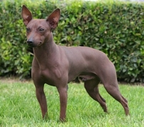 samerican-hairless-terrier1