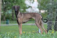 sloughi-dog-breeders